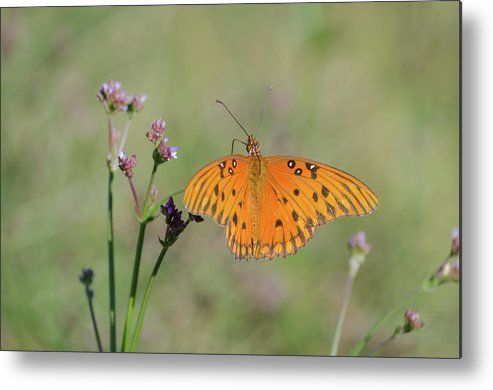 Butterfly Metal Print featuring the photograph What's Up Here by Donna Collins