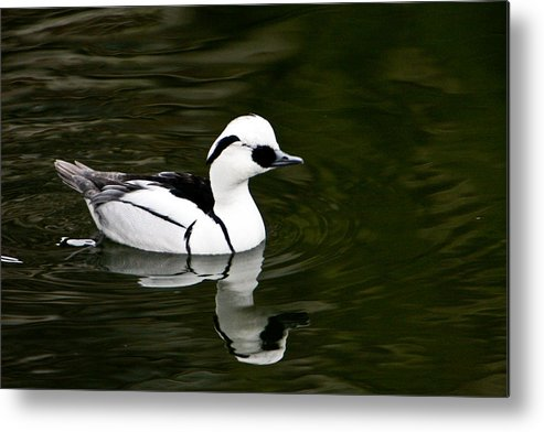 Duck Metal Print featuring the photograph White And Black Duck by Douglas Barnett