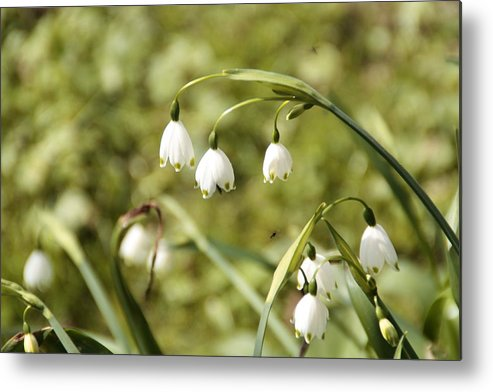 Flowers Metal Print featuring the photograph White And Green by Martina Fagan