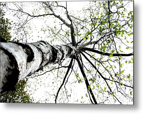 Nature Metal Print featuring the photograph White Birch 2011-1a by Robert Morin