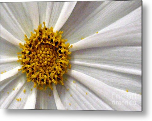 Flower Metal Print featuring the photograph White Cosmos by Jacqueline Milner