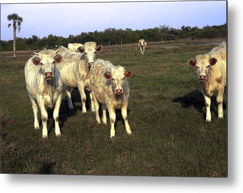White Cows Metal Print featuring the photograph White Cows by Sally Weigand
