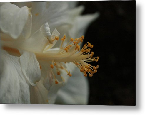 White Hibiscus Metal Print featuring the photograph White Hibiscus by Jennifer Bright