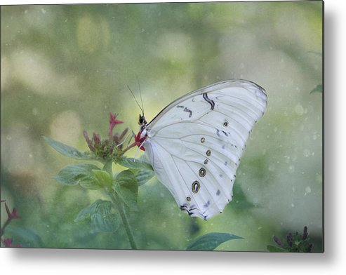 Butterfly Metal Print featuring the photograph White Morpho Butterfly by Kim Hojnacki