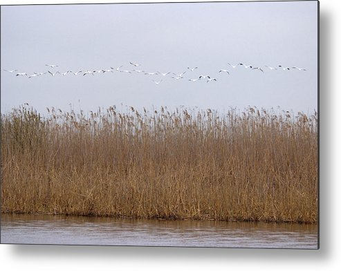 White Pelicans On Lake Metal Print featuring the photograph White Pelicans Fly Over Reed Bed On Lake by Cliff Norton