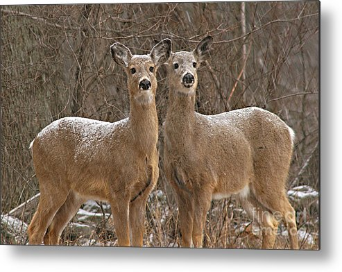 Deer Metal Print featuring the photograph White-tailed Deer Pair Peering Out From Snowstorm by Max Allen