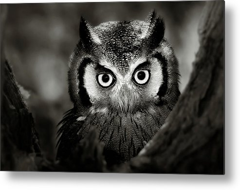 Africa Metal Print featuring the photograph Whitefaced Owl by Johan Swanepoel