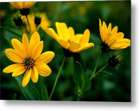 Wildflowers Metal Print featuring the photograph Wild Daisies by Roger Soule