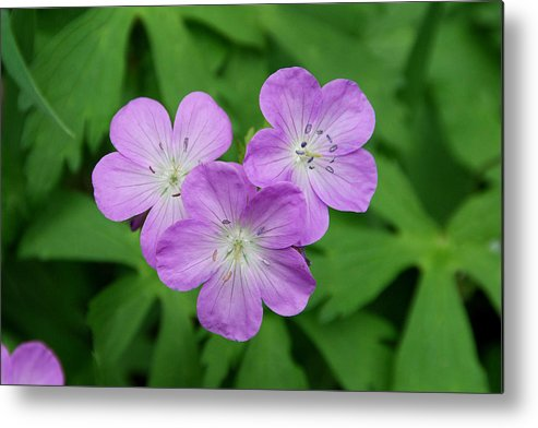 Wild Geranium Metal Print featuring the photograph Wild Geranium Triplet by Alan Lenk