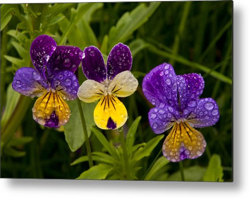 Wildflowers Metal Print featuring the photograph Wild Pansy Trio by Irwin Barrett