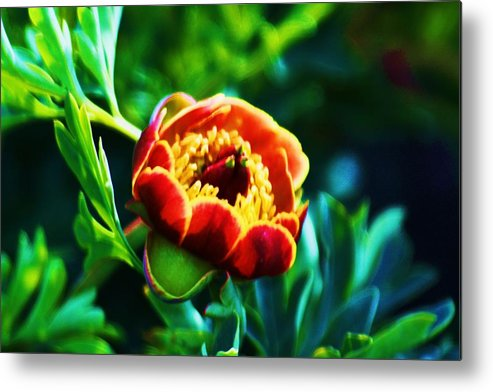Wild Flowers Metal Print featuring the photograph Wild Peony by Russell Barton