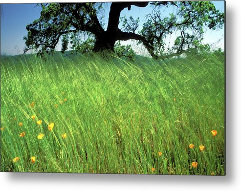 Oak Trees Metal Print featuring the photograph Windswept Poppies by Kathy Yates