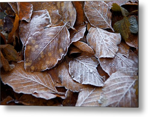 Brown Metal Print featuring the photograph Winter Brown Leaves Powdered With Frost by Keenpress