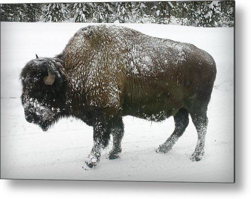 Buffalo Metal Print featuring the photograph Winter Buffalo by Patricia Montgomery