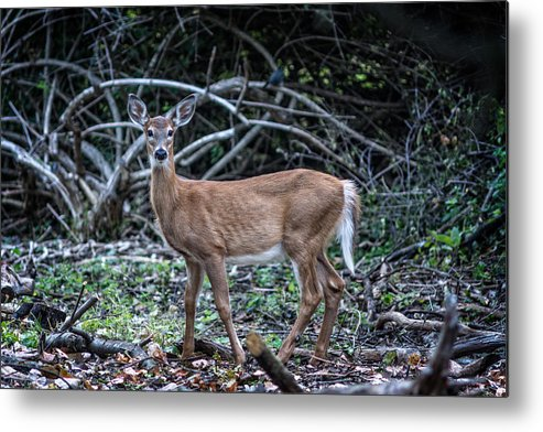 Bordeleau Metal Print featuring the photograph Yearling Fawn by Chris Bordeleau