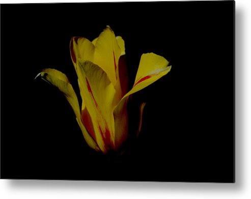Tulip Metal Print featuring the photograph Yellow And Red Tulip by Belinda Stucki