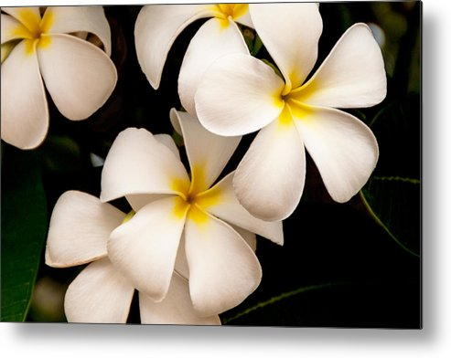 Yellow And White Plumeria Flower Frangipani Metal Print featuring the photograph Yellow And White Plumeria by Brian Harig