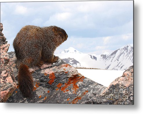 Marmot Metal Print featuring the photograph Yellow-bellied Marmot Enjoying The Mountain View by Max Allen
