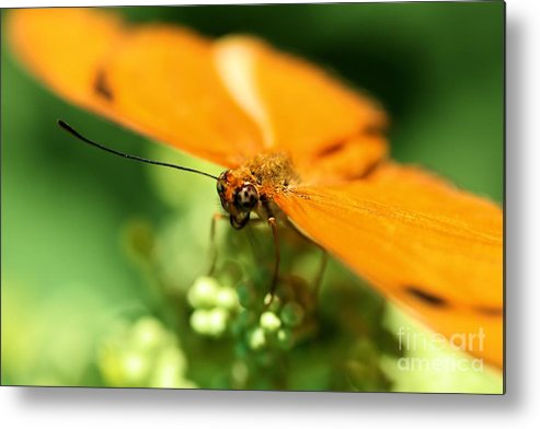 Yellow Metal Print featuring the photograph Yellow Butterfly by Kevin Kuchler
