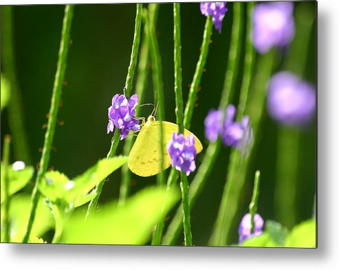 Insect Metal Print featuring the photograph Yellow Butterfly by Mark Mah