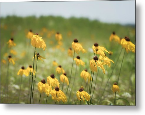 Ratibida Pinnata Metal Print featuring the photograph Yellow Coneflower by James Barber