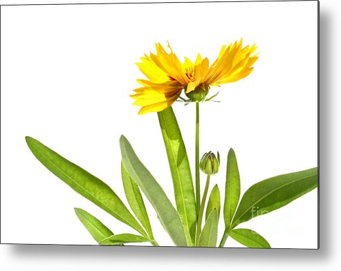 Abstract Metal Print featuring the digital art Yellow Daisy Isolated Against White by Sandra Cunningham
