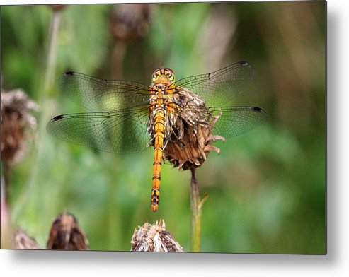 Dragonfly Metal Print featuring the photograph yellow Dragonfly by Pierre Leclerc Photography