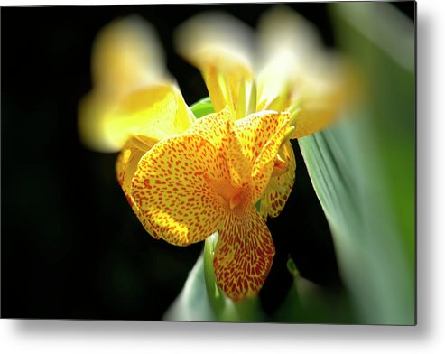 Canna Metal Print featuring the photograph Yellow With Red Spots by Douglas Barnard