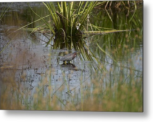 Little Green Heron Metal Print featuring the photograph You Can't See Me by Tina B Hamilton