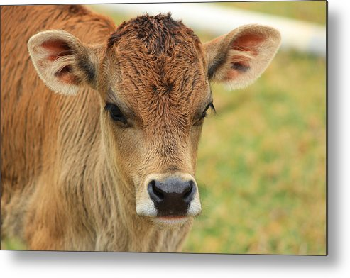 Calf Metal Print featuring the photograph Young Calf In A Pasture by Robert Hamm