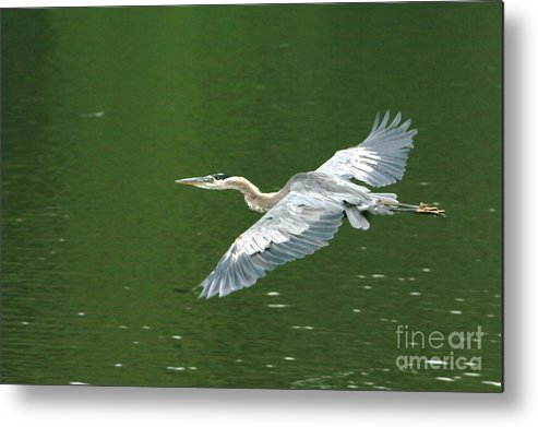 Landscape Nature Wildlife Bird Crane Heron Green Flight Ohio Water Metal Print featuring the photograph Young Great Blue Heron Taking Flight by Dawn Downour