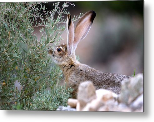 Jack Rabbit In The Henry Mountains Of Utah Metal Print featuring the photograph Young Jack Rabbit Snaking by Daniel Davidson