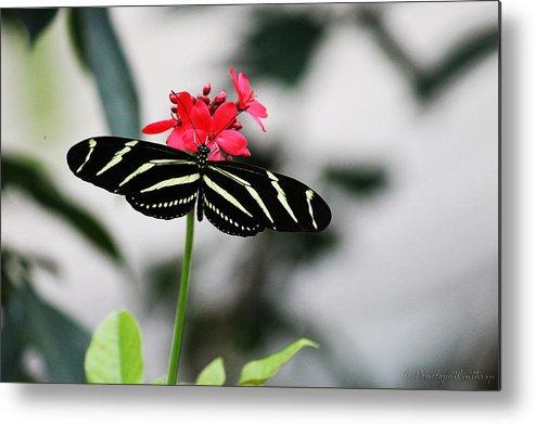 Zebra Longwing Butterfly Metal Print featuring the photograph Zebra Longwing Butterfly by Penelope Winthrop