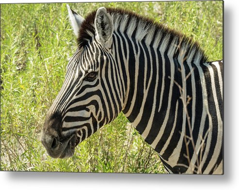 Namibia Metal Print featuring the photograph Zebra by Randy Green