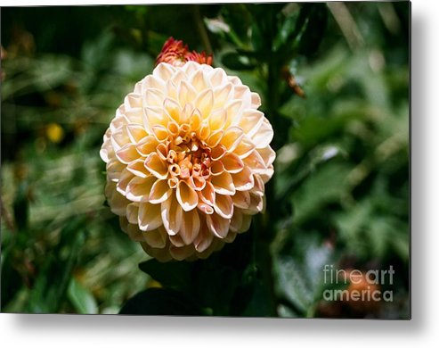 Zinnia Metal Print featuring the photograph Zinnia by Dean Triolo
