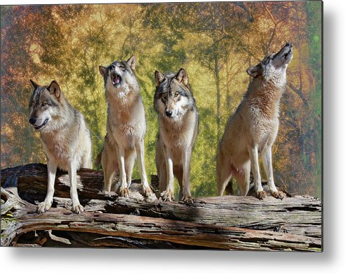 Wolf Metal Print featuring the photograph Howling Wolves by Jeannee Gannuch
