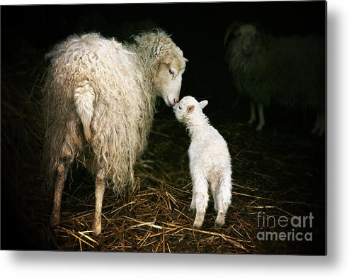 Offspring Metal Print featuring the photograph Sheep With A Lamb Standing In The 1 by Katarzyna Mazurowska