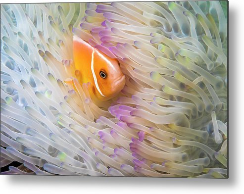 Amphiprion Metal Print featuring the photograph This Common Anemonefish Amphiprion by Dave Fleetham