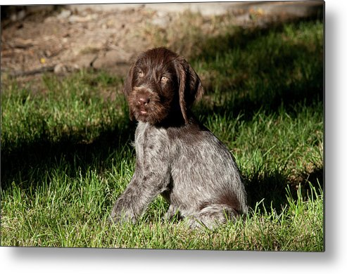 Dog Metal Print featuring the photograph Nine-week-old Drahthaar Puppy by William Mullins