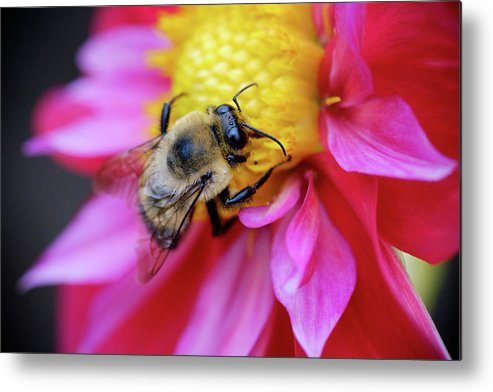 Dahlia Metal Print featuring the photograph A Bumblebee On A Flower by Nicole Young