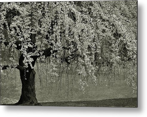 Tree Metal Print featuring the photograph A Single Cherry Tree In Bloom by Gregory Strong