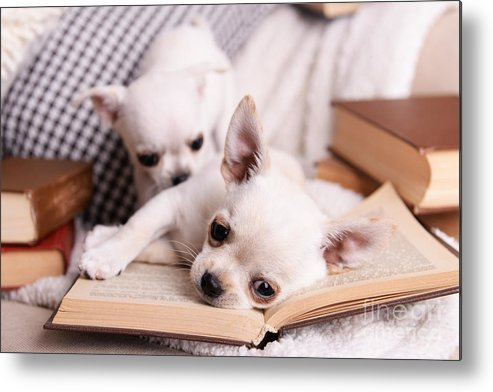 Small Metal Print featuring the photograph Adorable Chihuahua Dogs With Books On by Africa Studio