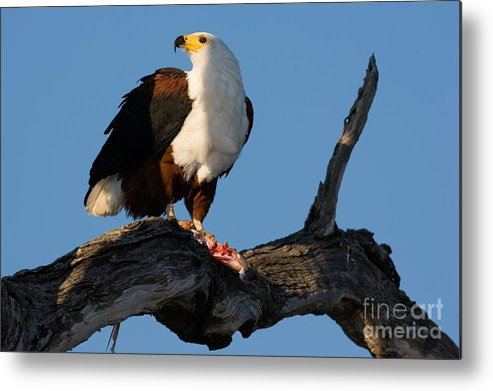 Caught Metal Print featuring the photograph African Fish Eagle Haliaeetus Vocifer by Johan Swanepoel