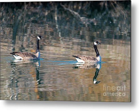 Geese Metal Print featuring the photograph Backseat Driver by Mike Dawson