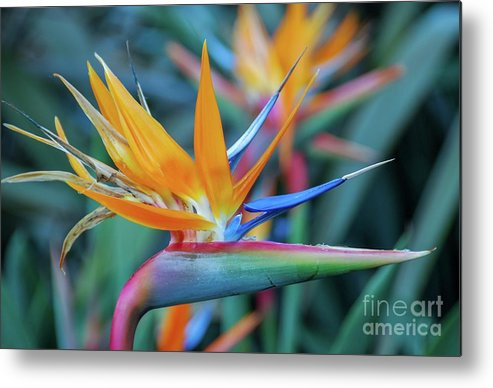 Flowers Metal Print featuring the photograph Bird Of Paradise Flowers by D Davila