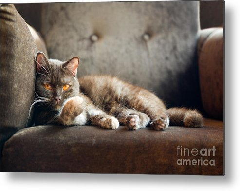 Fur Metal Print featuring the photograph British Cat At Home by Nina Anna