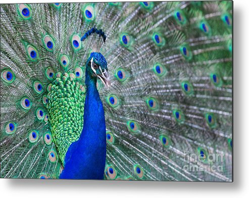 Dancing Metal Print featuring the photograph Close Up Of Beautiful Male Peacock With by Ommaphat Chotirat