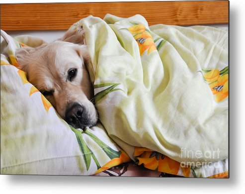 Bed Metal Print featuring the photograph Dog Sleeps Under The Blanket by Oleg Itkin