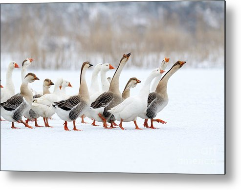 Plumage Metal Print featuring the photograph Domestic Geese Outdoor In Winter by Aabeele