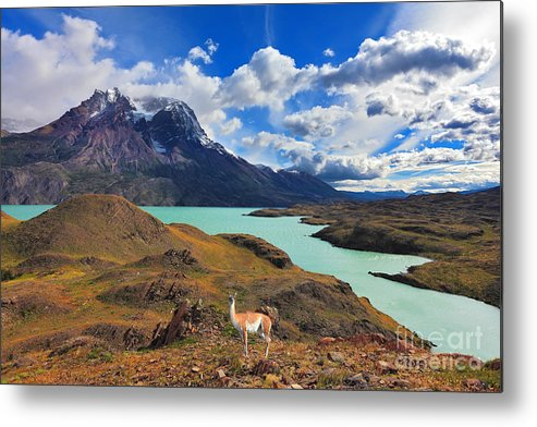 Guanaco Metal Print featuring the photograph Early Autumn In Patagonia. National by Kavram